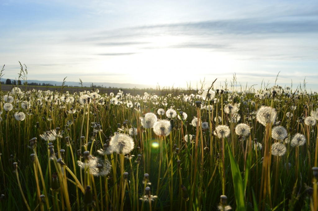 dandelions for longing and good article