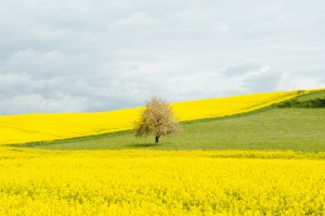 yellow field earth day small